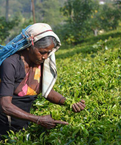 Sri Lankaanse vrouw op theeplantage